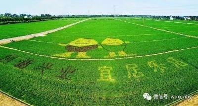 无锡太湖水稻示范园创意稻田艺术
